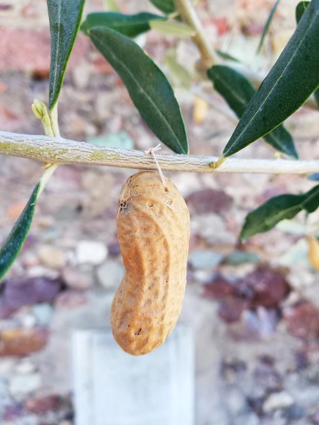 Peanut Tree
